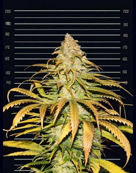 Fastest Sativa Ever seeds