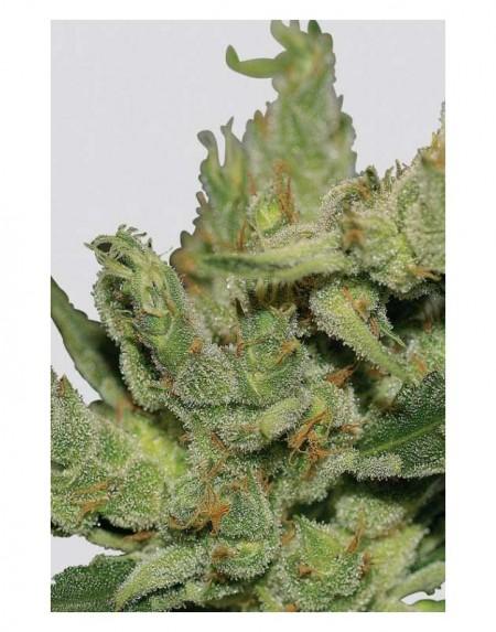 Haze1 Kannabiksen siemeniä