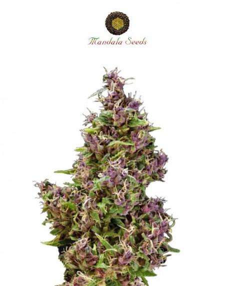 Purple Paro Valley kannabiksen siemeniä
