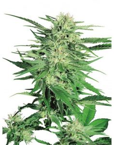 Big Bud By Sensi Seeds kannabiksen siemeniä