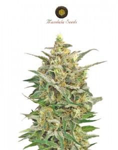 8 Miles High By Mandala Seeds kannabiksen siemeniä