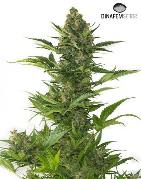 Amnesia XXL Autoflower seeds