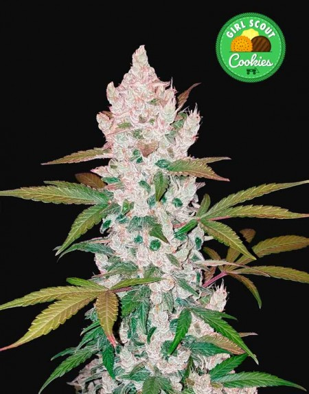 FastBuds Girl Scout Cookies seeds