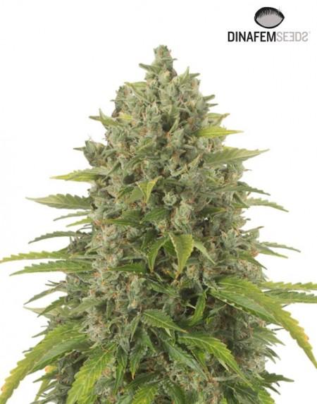 Haze XXl Autoflower seeds
