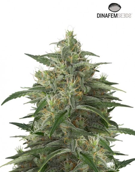 Moby Dick XXl Autoflower seeds