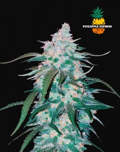FastBuds Pineapple Express Auto seeds