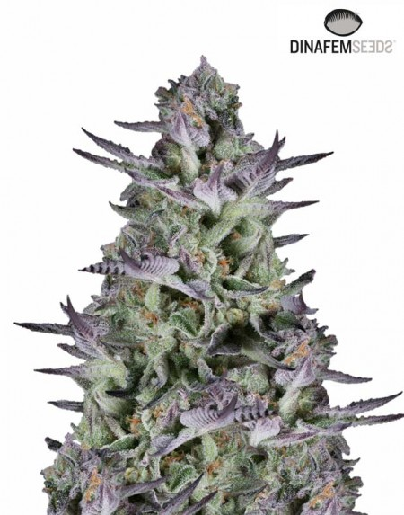 Blueberry Cookies seeds