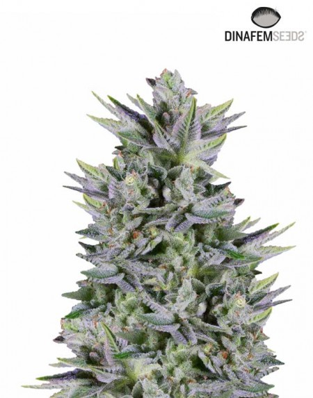 Dinamed Kush CBD Auto seeds