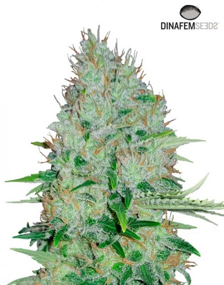 Moby Dick seeds