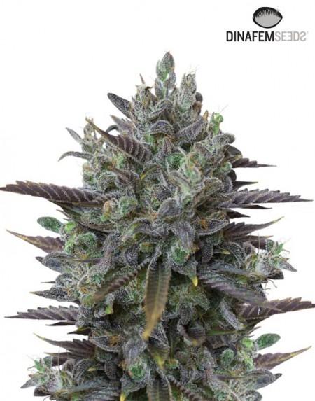 Purple Orange CBD seeds