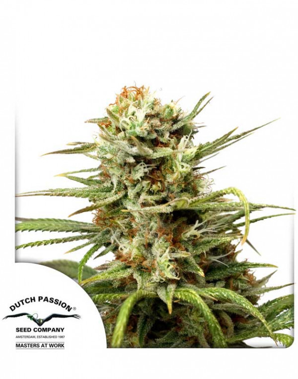 Auto White Widow seeds