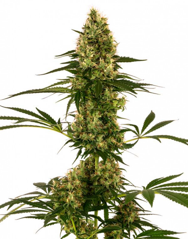 Blue Bullet Automatic seeds