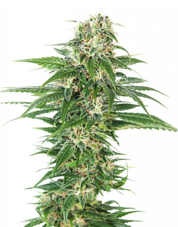 Early Skunk Automatic seeds