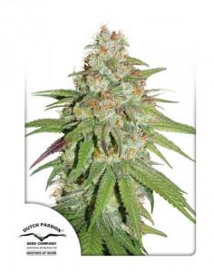 Glueberry O.G seeds