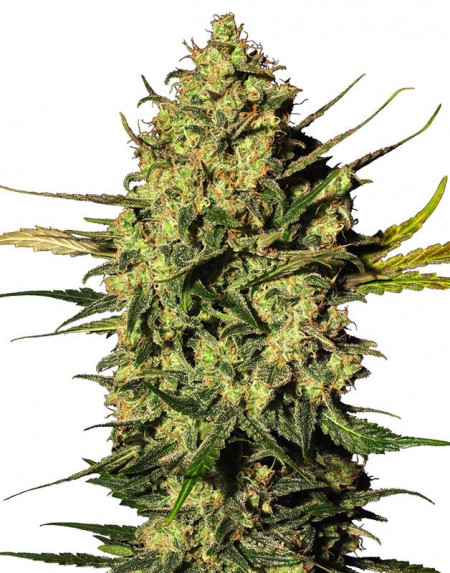 Master Kush Automatic seeds