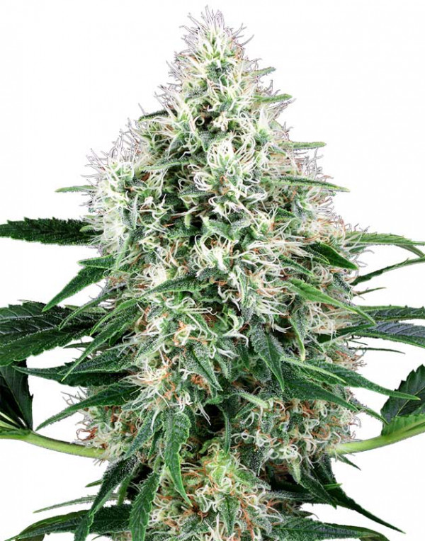 Pure Power Plant Automatic seeds