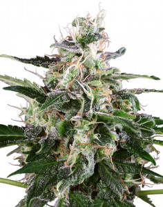 White Skunk Automatic seeds