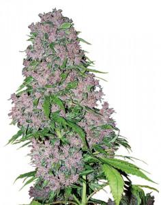 Purple Bud feminized