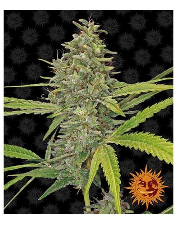 G13 Haze feminized seeds