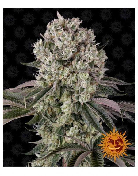 Glookies feminized seeds