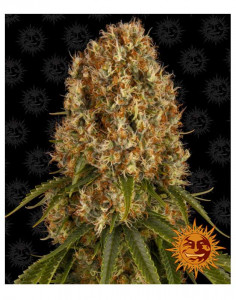Orange Sherbert feminized seeds