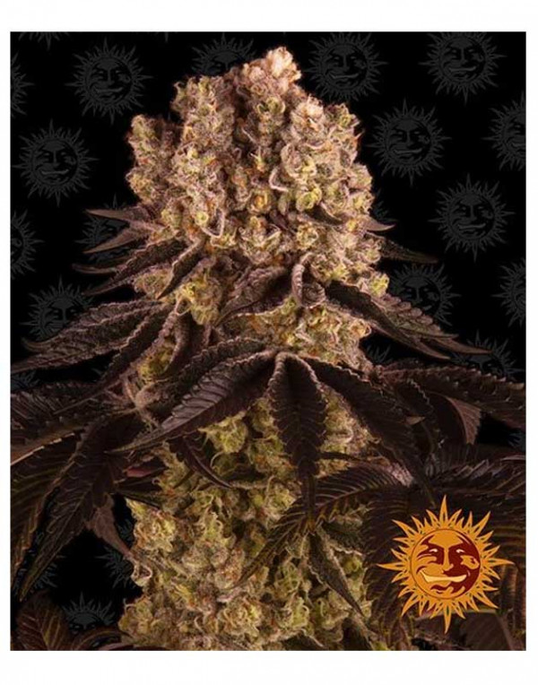 Purple Punch feminized seeds