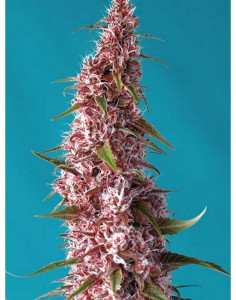 Red Pure Auto CBD seeds