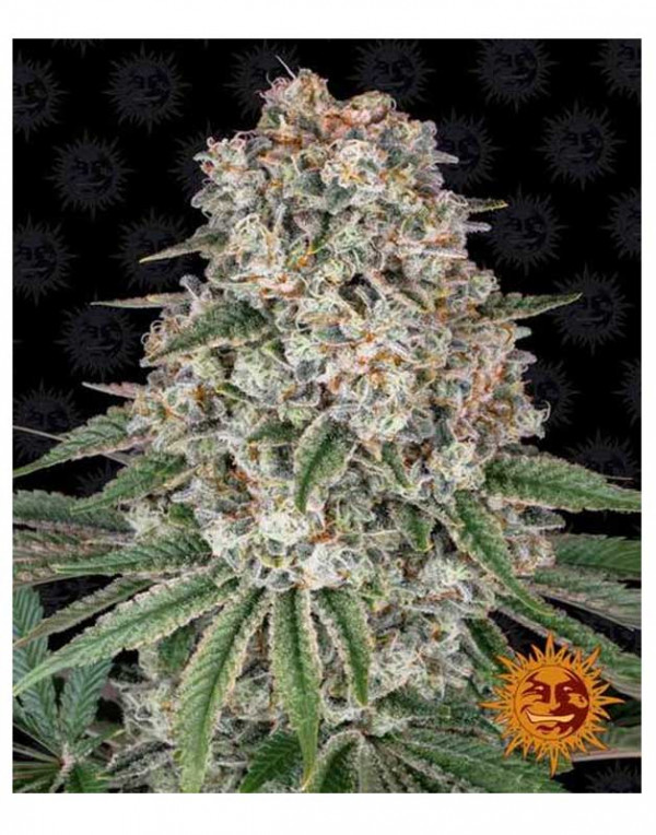Tropicanna Banana feminized seeds