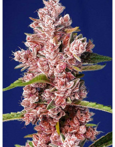 Tropicanna Poison F1 Fast Version seeds
