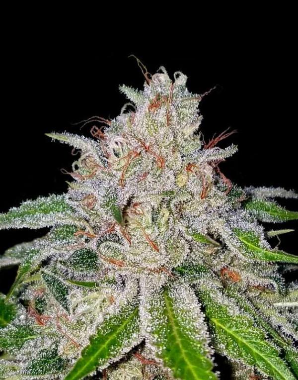 Cherry 18 By Crockett family Farms feminized seeds