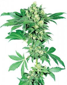 Maple Leaf Indica regular seeds
