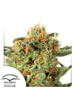 Orange Hill Special feminized seeds