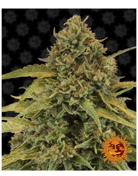 Bad Azz Kush seeds