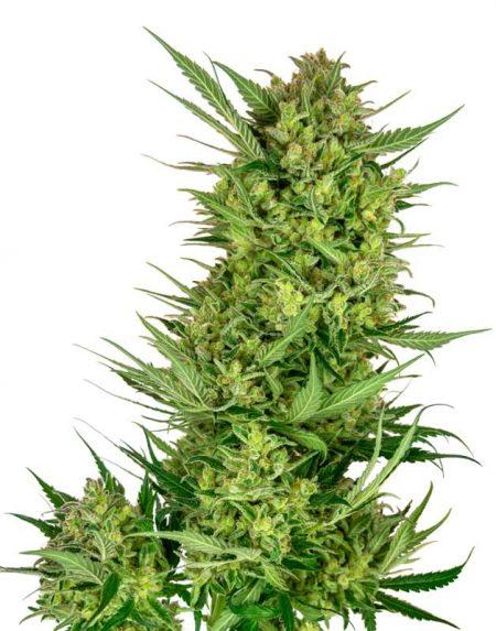 Buttercream Gelato seeds