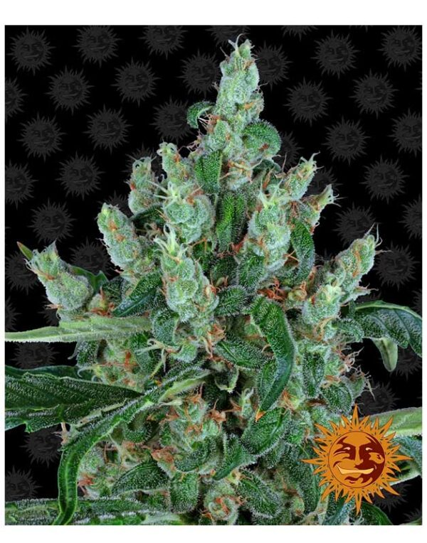Laughing Buddha seeds