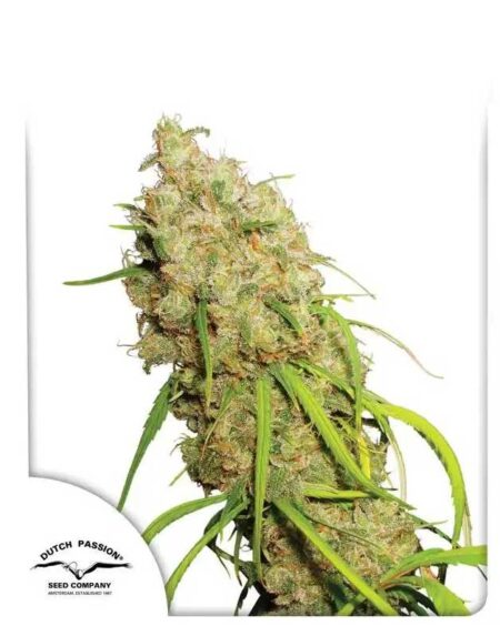 Desfrán seeds By Dutch Passion