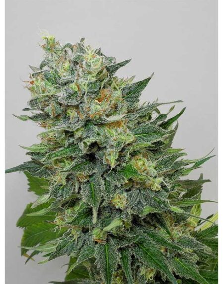 Flashberry regular seeds By Mandala Seeds