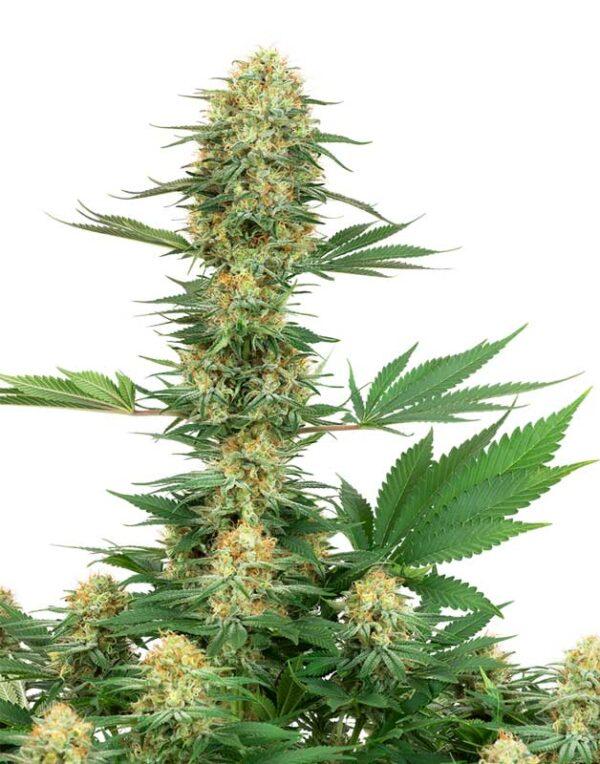 Gelato #420 seeds