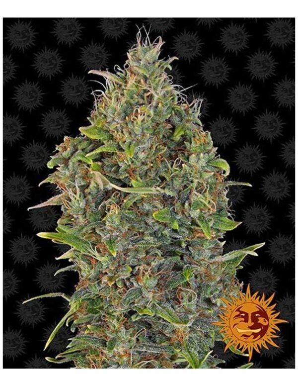 Critical Kush Autoflower seeds