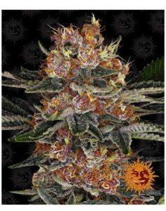 Purple Punch Autoflower